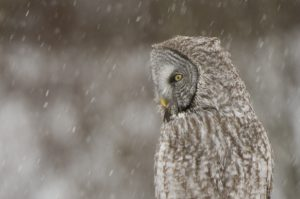 Great Gray Owl - Spring Creek Ranch, Jackson, WY