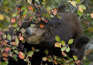 Black Bears - Spring Creek Ranch, Jackson Hole, WY