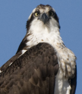 Osprey - Spring Creek Ranch, Jackson Hole, WY
