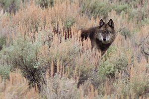 Spring Yellowstone Wolf and Bear Safari